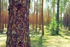 Trunk of pine. In summer forest Stock Photography