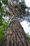 Trunk of pine tree. Trunk of high pine tree Royalty Free Stock Photo