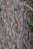 Trunk of a pine tree. Close-up shot of bark of perennial centenary trunk pine tree Stock Image