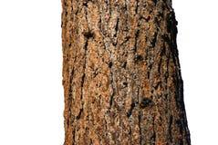 Trunk of Ponderosa Pine. Deschutes River,Central Oregon Royalty Free Stock Photos