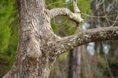 Trunk of a Popcorn tree Stock Photo