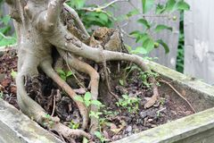 Trunk and root of bonsai tree. Stock Photo