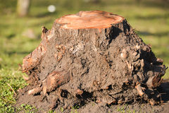 Trunk with roots cut out and removed of the ground Royalty Free Stock Images