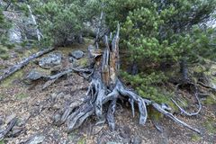 Trunk, roots of fallen tree. Old wood royalty free stock photos