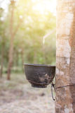 Trunk rubber Hevea brasiliensis tree, Tapping latex from a rubber tree. Stock Images
