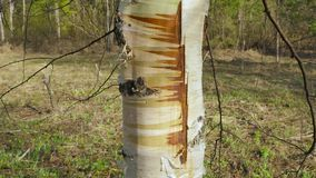 Trunk of scared birch tree stock video footage