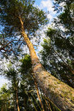 Trunk of the Scots or Scotch pine Pinus sylvestris tree growing in forest. Stock Photos