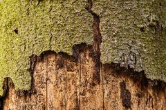Trunk of spruce with exfoliating bark. Diseased tree damaged by. Bark beetle stock photos