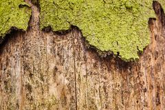 Trunk of spruce with exfoliating bark. Diseased tree damaged by. Bark beetle stock photography