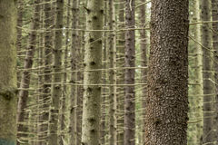 Trunk of spruce picea abies in the forest, against a backgroun Royalty Free Stock Images
