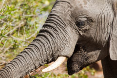 Trunk Straight Out. Close-up of an elephant foraging on trees in Kruger National Park, South Africa stock photo