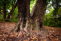 Trunk of strong tree. On glade in forest Royalty Free Stock Photo