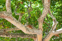 Trunk of a sycamore in Ciutadella Park of Barcelona. Catalonia, Spain. Royalty Free Stock Photography