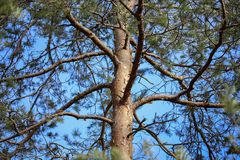 The trunk of a tall pine against the blue sky. The trunk of high pine trees against the blue sky stock photo