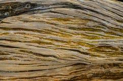 Trunk Texture Gnarled Juniper Tree. Trunk Texture of Gnarled Juniper Tree Shaped By The Wind at El Sabinar, Island of El Hierro Stock Image
