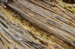 Trunk Texture Gnarled Juniper Tree. Trunk Texture of Gnarled Juniper Tree Shaped By The Wind at El Sabinar, Island of El Hierro Royalty Free Stock Image