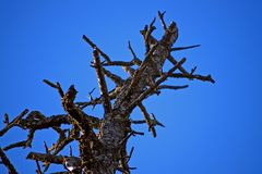 Trunk with thorns. Rest of pine trunk with branches in the shape of thorns after a forest fire Stock Photography