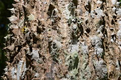 Trunk thorny of bombax ceiba tree background Royalty Free Stock Images