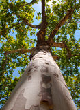 Trunk and the top of a sycamore. Royalty Free Stock Photos