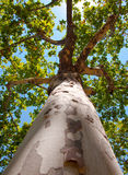 Trunk and the top of a sycamore. Stock Photos