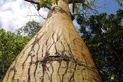 Trunk tree. A tree from tropical forest stock images