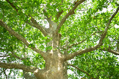 Trunk of tree. Trunk of big tree with leaves Royalty Free Stock Photo