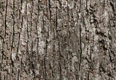 Trunk of tree Royalty Free Stock Photo