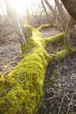 The trunk of a tree is covered with green moss. The trunk of a fallen tree is covered with green moss Stock Image