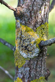 Trunk tree covered lichen moss natural background Stock Photos