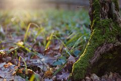 The trunk of a tree covered with moss in a forest glade with gre. En grass in sunlight. Hello spring concept stock images