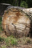Trunk of tree cut and laid. On the ground Royalty Free Stock Images