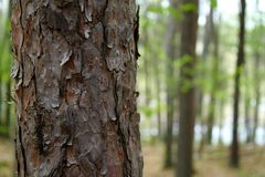 Trunk of tree. In a forest place Stock Image