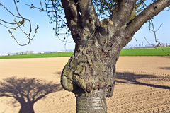 Trunk of tree formed like a face Royalty Free Stock Photo