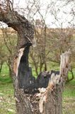 Oak tree hit by lightning. Trunk of a tree hit by lightning Royalty Free Stock Images