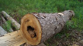 The trunk of a tree with holes made by a beetle. royalty free stock photography