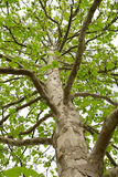 The trunk of a tree with large branches. And green leaves Royalty Free Stock Photos