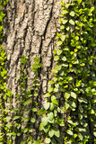 The trunk of the tree leaves Royalty Free Stock Photography