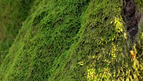 Trunk of tree overgrown with perennial green moss. Close ups stock footage