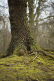 The trunk of the Tree by The Wath Wood. The trunk of the Big tree by The Wath Wood, Rotherham, Yorkshire, England on cloudy winter day Royalty Free Stock Image