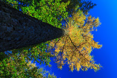 Trunk and treetop in autumn forest Royalty Free Stock Photography