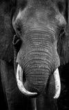 Trunk Tricks. Shot at Matopo Hills, Zimbabwe. Nikon D7000 Royalty Free Stock Photo