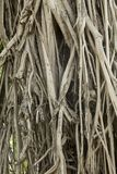 Old tropical ficus tree. Trunk of the tropical ficus tree stock images