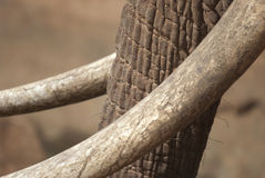 Trunk with tusks. An elephant trunk with tusks Royalty Free Stock Photos