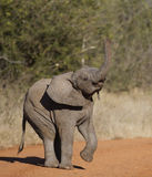 Trunk Up. Baby elephant playing eith his foot and trunk in the air Royalty Free Stock Photos