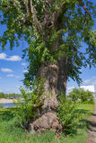 Trunk of a very old tree with growths close-up Royalty Free Stock Photo