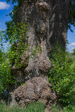 Trunk of a very old tree with growths close-up Royalty Free Stock Photography