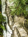 Trunk of white birch and spruce branches. Natural background, close-up of an adult tree. Textured backgrounds Stock Photo