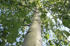 The trunk wood of white birch with green branches with leaves Royalty Free Stock Image