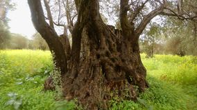 Trunk of 400-year-old olive tree close-up under heavy rain in the field of rapeseed, deep winter in the ancient garden. Ancient Olive Trees, a collection of stock footage