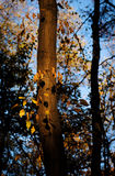 Trunk with yellow leaves. Autumn park and yellow leaves Stock Photography